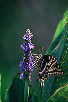 Swallowtail butterfly on Pickerelweed flower. Florida, Corkscrew Swamp Sanctuary.