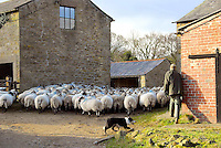 Moving sheep at Dinkling Green farm.