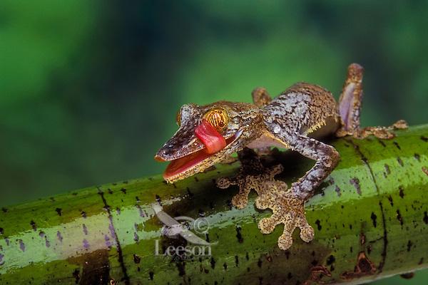 Henkel's Frilled Leaf-Tailed Gecko (Uroplatus henkeli). Native to Madagascar. Tongue cleans eye like a windshield wiper.