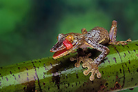 Henkel's Frilled Leaf-Tailed Gecko (Uroplatus henkeli). Native to Madagascar. Tongue cleans eye like a windshield wiper.