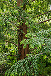 Dawn redwood at the Arnold Arboretum in Jamaica Plain, Boston, Massachusetts, USA