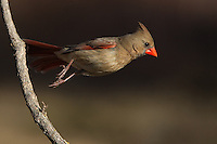 """Northern Cardinal female jumping off..<br /> """"I get up, and nothing gets me down."""" (Van Halen lyrics)"""