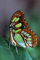 Malachite siproeta stelenes butterfly rests on a leaf