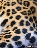 0309-1102  Amur Leopard Spots, Panthera pardus orientalis  © David Kuhn/Dwight Kuhn Photography