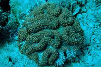 Fluorescent hard coral, Malaysia, Pacific ocean, Borneo, Sipadan