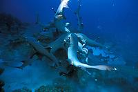 school of whitetip reef sharks, Triaenodon obesus, hunting for reef fish, Cocos Island, Costa Rica, Pacific Ocean