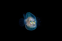 Footballfish, Himantolophidae,Himantolophus species making an appearance during a blackwater dive off Palm Beach, Florida.  Atlantic Ocean