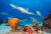 Caribbean reef shark, Carcharhinus perezii, swimming over coral reef, Bahamas, Caribbean Sea, Atlantic Ocean