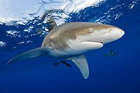 Oceanic Whitetip Shark, Carcharhinus longimanus, with pilot fish, Naucrates ductor, scuba diver in background, Cat Island, Bahamas, Caribbean, Atlantic Ocean