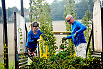 "From field to firkin in a furlong....<br /> <br /> Pictured : Mark and Natalie Lang cutting down hops bines in the Hogs Back Brewery garden, as harvesting begins in Tongham, Surrey.<br /> <br /> A brewery has begun the annual harvest of its hops, with a new 8.5 acre farm site situated just yards from the brewery itself.<br /> <br /> The garden, boasting 6000 hop plants, is a stones throw from the hop picking machine which carefully separates the hop cones, required for brewing, from the rest of the bines.<br /> <br /> The hops are then loaded into a kiln, just 10 yards away, where they are dried and quickly vacuum packed to capture flavour before being stored on site until required.<br /> <br /> The hop plants are supported in the garden with over 100 large posts and ten miles of high tensile steel wire, strung 18ft above the plants.<br /> <br /> Rupert Thompson, Hogs Back Brewery owner, said : ""The hops never leave our site.  Processing them at the brewery reduces our carbon footprint and we looking forward to harvesting them for the first time.""<br /> <br /> <br /> © Roger Arbon/Solent News & Photo Agency<br /> UK +44 (0) 2380 458800"