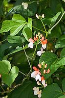 Feuerbohne, Käferbohne, Feuer-Bohne, Käfer-Bohne, Bohne, Bohnen, Phaseolus coccineus, runner bean, scarlet runner bean, multiflora bean, scarlet runner