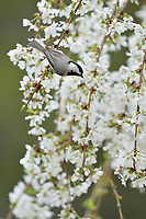 Carolina Chickadee (Poecile carolinensis), adult perched on blooming Weeping Cherry Tree (Prunus sp.), Hill Country, Central Texas, USA
