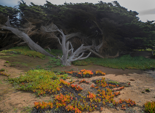 Colorful Ice Pland fronts a fsallen Cypress Tree at Cambria, California