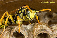 0621-1107  European Paper Wasp on Paper-like Nest, Invasive Species in North America, Polistes dominula (Polistes dominulus)  © David Kuhn/Dwight Kuhn Photography