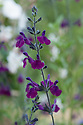 """Salvia x jamensis 'Nachtvlinder', early July. The word nachtvlinder is Dutch and means """"night butterfly"""" - or """"moth""""."""