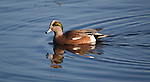 Widgeon Drake on a pond