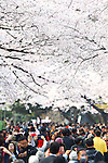 People walk under cherry blossoms in full bloom at Ueno Park in Tokyo, Japan on Friday, April 1st, 2016. On Thursday, the Japan Meteorological Agency announced that Tokyo's cherry trees were in full bloom, three days earlier than usual, but two days later than last year. (Photo by Shingo Ito/AFLO)