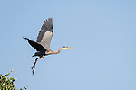 Damon, Texas; a great blue heron taking flight from the top of a tree in late afternoon sunlight