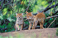 Wild Coyote pups play with tree  branch near their densite.  Western U.S., June.