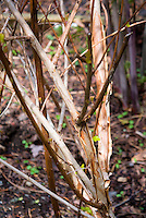 Peeling interesting Bark of Physocarpus opulifolius Coppertina shrub bush aka Mindia aka Diable d'Oro, ornamental trunk