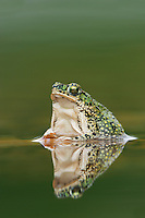 Eastern Green Toad (Bufo debilis debilis), adult in pond, Laredo, Webb County, South Texas, USA
