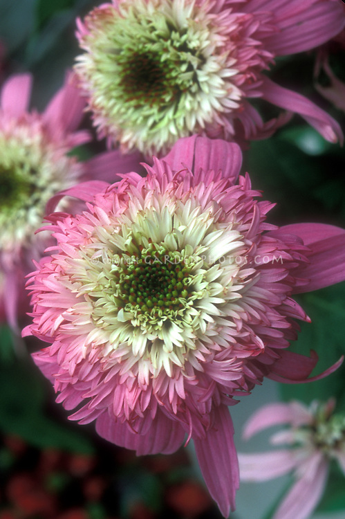 Frilly double pink flowers of coneflower Echinacea Pink Double Delight
