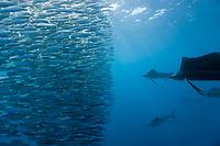 Atlantic Sailfish hunting Sardines, Istiophorus albicans, Isla Mujeres, Yucatan Peninsula, Caribbean Sea, Mexico, Atlantic
