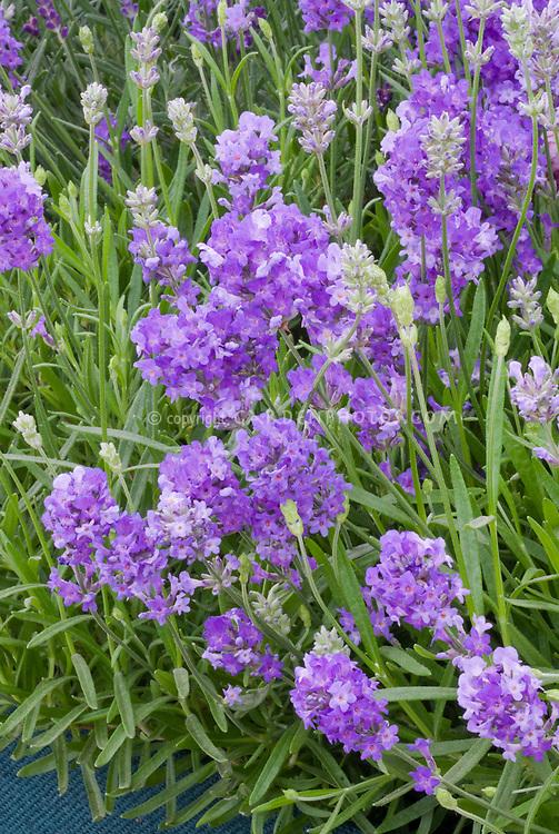 Lavandula angustifolia 'Batlad' aka 'Little Lady' lavender herb
