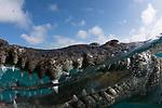 American Crocodile, in mangrove, Crocodylus acutus, Cuba, over/under split shot, Underwater, Jardines de la Reina, marine reptiles, Protected Marine park underwater