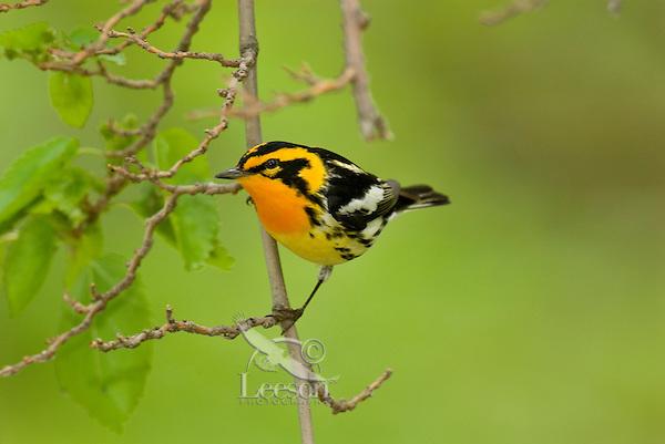 Blackburnian Warbler (Dendroica fusca) male