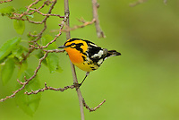Blackburnian Warbler (Dendroica fusca) male