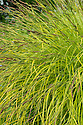 Carex elata 'Aurea' (syn. Carex elata 'Bowles's Golden' , Carex riparia 'Bowles's Golden'), late May. An evergreen perennial grass or sedge forming a compact clump of upright or arching, narrow, bright yellow, golden leaves. Commonly known as Bowles' golden sedge.
