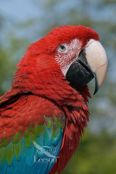 Green-winged Macaw (Ara chloroptera).  Range: Central and South America..