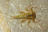 Eintagsfliege, Larve, Nymphe, Rhithrogena spec., mayfly, larva, larvae