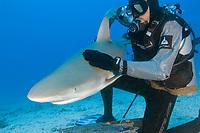 Caribbean Reef Shark (Carcharhinus perezii) with diver in chainmail sleeves. St Maarten, Sint Maarten, Netherland Antilles, Caribbean Sea, Atlantic