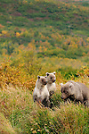 Two light colored Grizzly bear cubs, Ursus arctos horribilis, watch  their mother nearby.