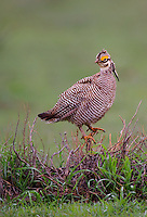 572110265 a wild lesser prairie chicken tympanuchus pallidicintus displays and struts on a lek on a remote ranch near canadian in the texas panhandle