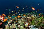 Anthias Reefscape 4-7-18-1095