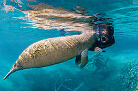Florida Manatee (Trichechus manatus latirostris) A curious,young Manatee interacts with equally curious snorkelers within the Three Sisters Springs. Crystal River,Florida (No MR)