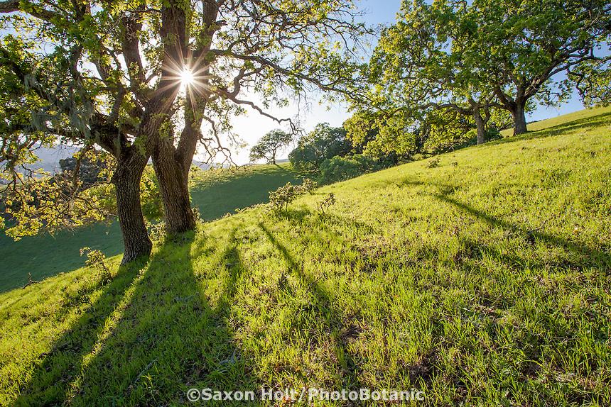 Oak trees (Quercus lobata) backlit on grassy hill on Mt. Burdell State Park, Novato, California