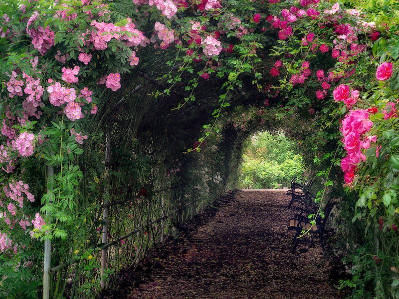 Rose arbor. Heirloom Gardens. St. Paul, Oregon