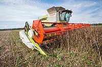 Harvesting winter beans - Suffolk, August