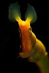 Blue Ribbon Eel , Lembeh Straits, Sulawesi Sea, Indonesia, Amazing Underwater Photography