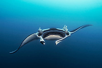 giant oceanic manta ray, Mobula birostris, formerly Manta birostris, vulnerable species, swimming in ocean, Bat Islands, Isla Murcielago, Playa del Coco, Guanacaste, Costa Rica, Pacific Ocean
