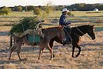 Bringing home the Christmas tree western style on mule and horseback