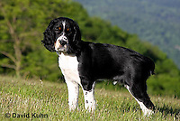 0730-0816  Tricolor English Springer Spaniel Puppy, Canis lupus familiaris © David Kuhn/Dwight Kuhn Photography.