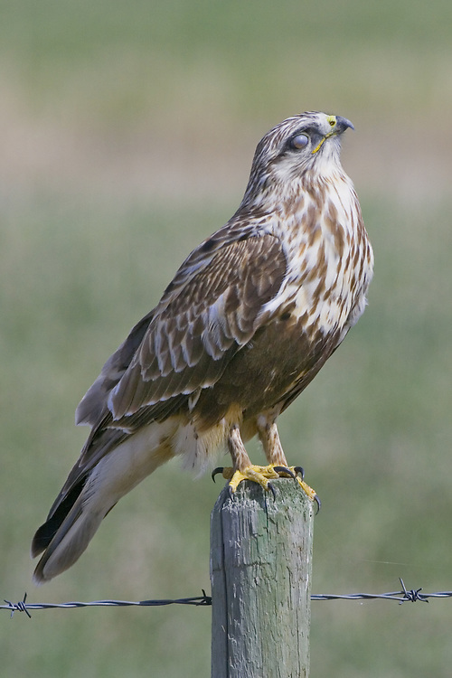 Rough-legged Hawk perched on a fence post with its eyelids closed