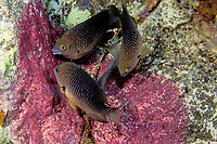 threespot damselfish, Stegastes planifrons, feeding on eggs of sergeant major damselfish, Abudefduf saxatilis, Commonwealth of Dominica (Caribbean Sea) , Atlantic