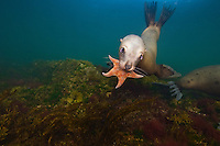 A young Stellers Sea Lion (Eumetpias jubatus) plays with a Seastar underwater in the Strait of Georgia off Vancouver Island, British Columbia, Canada.