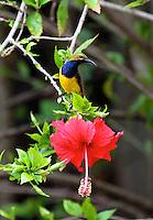 Male Olive-backed Sunbird on Hibiscus, Portland Roads, Iron Range, Queensland